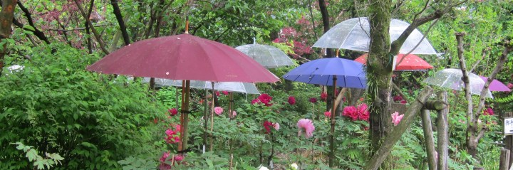 Parasols protecting peonies.