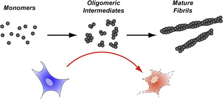 Image result for amyloid intermediates cause damage