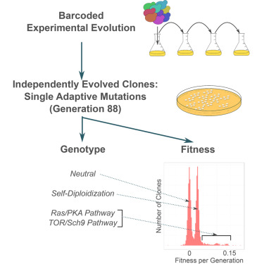 Development Of A Comprehensive Genotype To Fitness Map Of Adaptation Driving Mutations In Yeast Sciencedirect