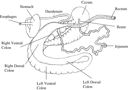 horse gi diagram ford electronic ignition wiring digestive schematic passage rate of digesta through the equine gastrointestinal tract a immune system download full