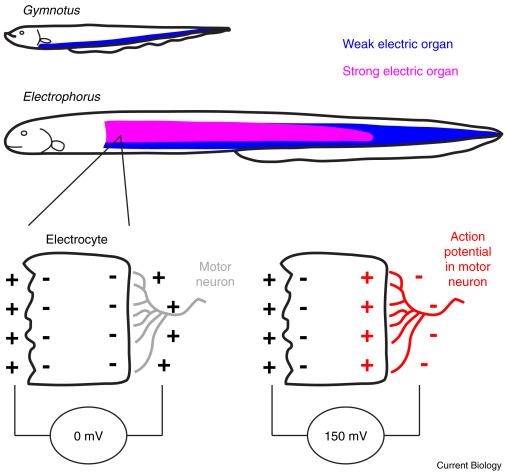 Animal Behavior Electric Eels Amp Up For An Easy Meal ScienceDirect