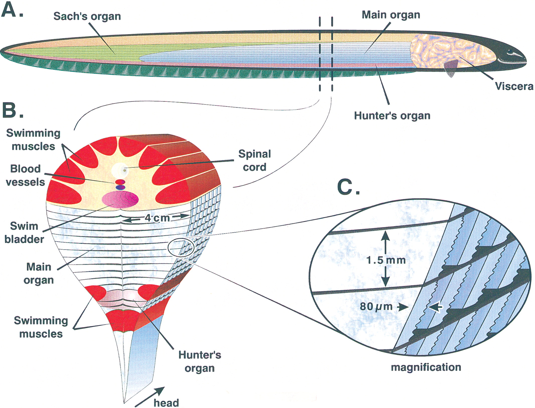 Electric Eel How Its Internal Organs Produce Electricity