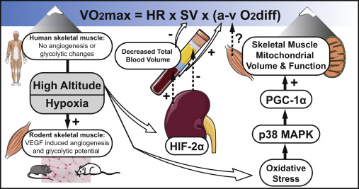 Maximizing Cellular Adaptation To Endurance Exercise In Skeletal Muscle Sciencedirect