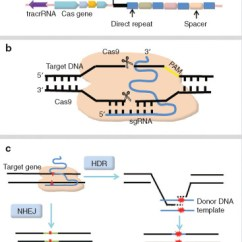 In Vivo Gene Therapy Diagram Lancer Stereo Wiring Crispr Cas9 For Promise And Hurdles Applications Recent Advances Of Explorations