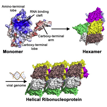 Structure of the Hantavirus Nucleoprotein Provides Insights into ...