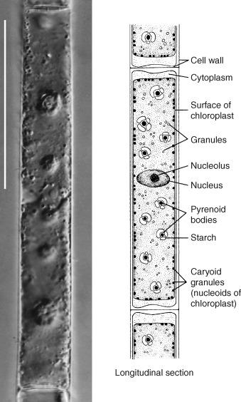 Spirogyra - Wikipedia