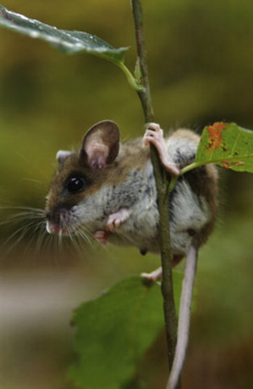 Deer Mice, White-Footed Mice, and their Relatives - ScienceDirect