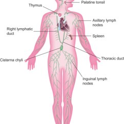 Diagram Nodes Lymphatic System Voltage Sensing Relay Wiring Lymph Fluid An Overview Sciencedirect Topics