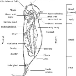 Rotifer Diagram Labeled Ls1 Wiring Phylum Rotifera Sciencedirect Download Full Size Image