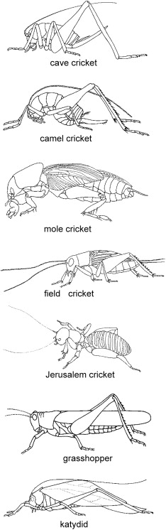 grasshopper insect diagram nissan almera tino radio wiring orthoptera an overview sciencedirect topics epigenetics