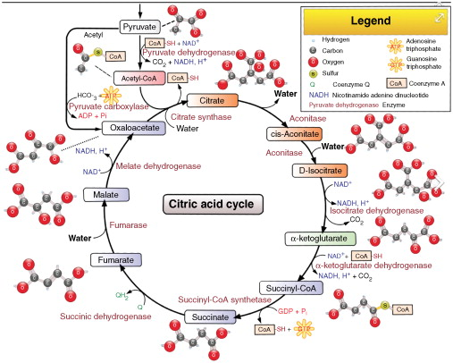 stages of glycolysis and fermentation diagram vw touareg 2005 wiring an overview sciencedirect topics sign in to download full size image
