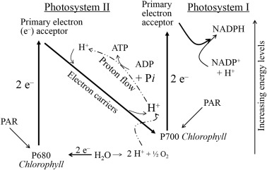 photosynthesis z scheme diagram 2001 subaru forester wiring light dependent reactions an overview sciencedirect topics sign in to download full size image