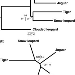 Snow Leopard Anatomy Diagram Advance Fluorescent Ballast Wiring Clouded An Overview Sciencedirect Topics Sign In To Download Full Size Image