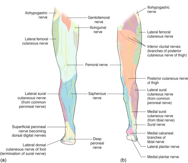 lower leg nerve diagram kubota rtv 900 cooling fan wiring compression entrapment sites of the limb sciencedirect download full size image