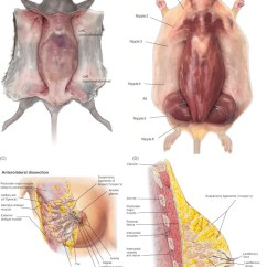 Mouse Dissection Diagram 1995 Acura Integra Speaker Wiring Mammary Gland Sciencedirect Download Full Size Image