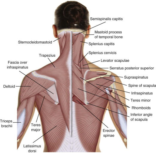 nerves in neck and shoulder diagram 50 amp rv plug wiring trapezius muscle an overview sciencedirect topics functional anatomy of the cervical spine