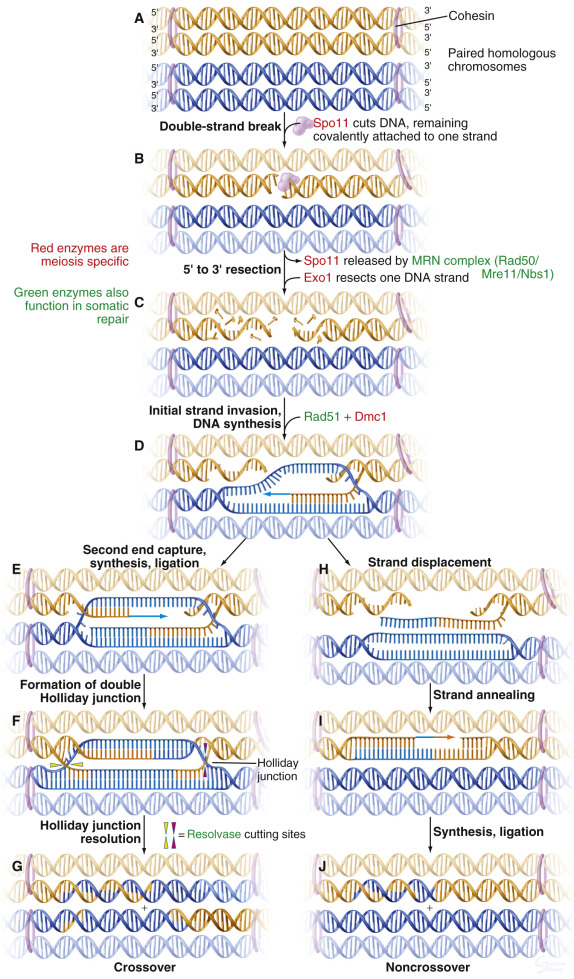 Which Diagram Shows A Homologous Chromosome Pair That Has Heterozygous Alleles? : which, diagram, shows, homologous, chromosome, heterozygous, alleles?, Which, Diagram, Shows, Homologous, Chromosome, Heterozygous, Alleles_, Wiring, Database