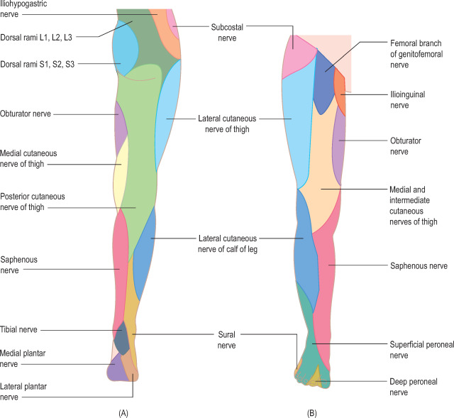 lower leg nerve diagram how do you draw a bohr rutherford ilioinguinal an overview sciencedirect topics cutaneous nerves