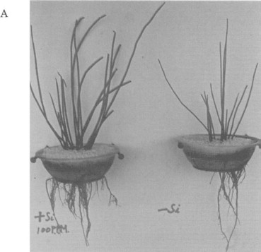 horsetail plant diagram ford 8n kaufen equisetum an overview sciencedirect topics sign in to download full size image