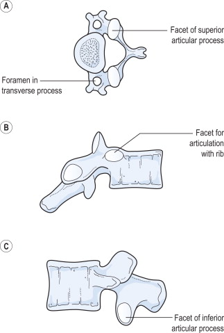 cervical vertebrae diagram schematic of house wiring vertebra an overview sciencedirect topics sign in to download full size image