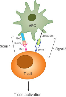 Image result for t cell signals