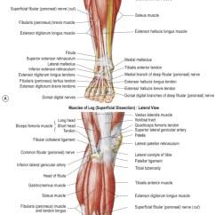 Medial Lower Leg Muscles Diagram Polaris Atv Wiring Flexor Digitorum Longus Muscle An Overview Sciencedirect Topics Regional Anatomy Figures 32 1 3