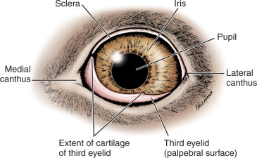 parts of the eyelid diagram wiring for a semi trailer plug nictitating membrane an overview sciencedirect topics third