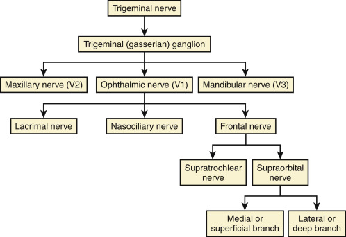 trigeminal nerve diagram 1996 club car wiring 36 volt supraorbital an overview sciencedirect topics sign in to download full size image