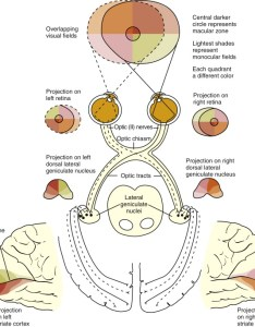 Visual pathway also an overview sciencedirect topics rh