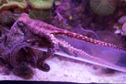 Tällä mustekalalla on hillitön himo leikkiä pulloilla.