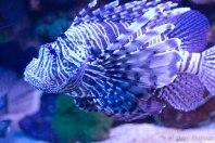 Pterois (tunnetaan lisäksi nimellä lion fish), joka tuli tavattua sukeltaessa delfiinirannalla.