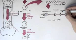 Immunology - Antibody Somatic (VDJ) Recombination I