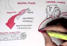 Myology - Introduction (Skeletal, Cardiac, Smooth Muscles)