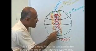 Cerebellum - Structure & Function - Neuroanatomy