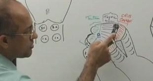 Midbrain - Structure & Function - Neuroanatomy