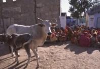 Bue e vitellino - India