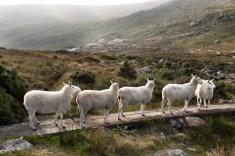 Pecore, Irlanda