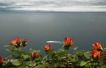 Rose che sbocciano sul Golfo di Amalfi