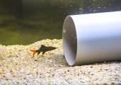 Pesciolino in via estinzione protetto in acquario