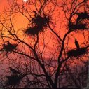Herons at Sunset, image by Tom Ommen