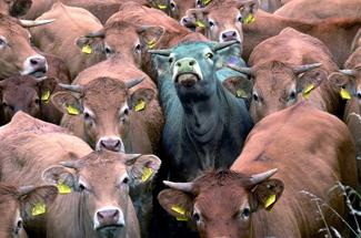 bullish-bull-cattle-stampede-art-satire-comedy-humor