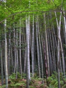 640px-Bamboo_forest