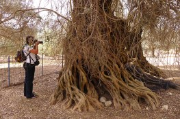 Amari has some of the most ancient olive trees on Crete