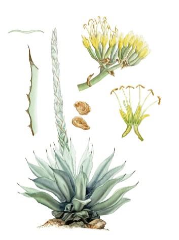 Dulce Chacón, Agave Salmiana (agave pulquero); Courtesy of Espacio Arriba and artist
