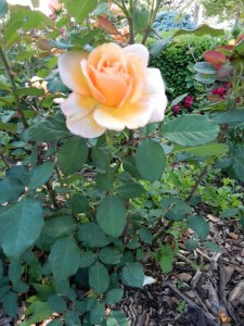 Tahitian Sunset rose - the quality of the roses make Hamann our best local public rose garden