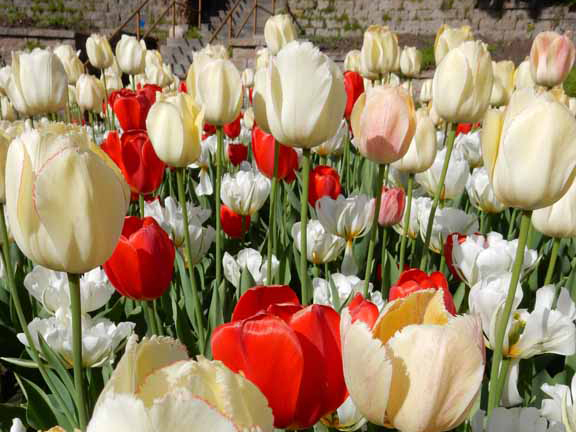 scarlet and cream tulips
