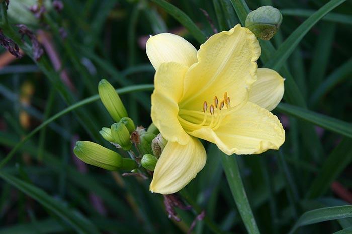 Yellow Daylily Art Photo