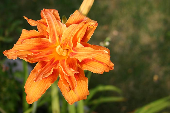 Orange Ruffled Daylily
