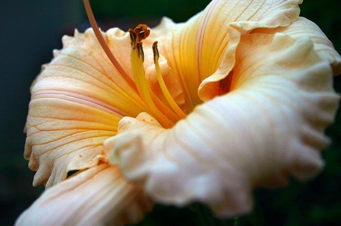 Daylily Closeup Art Photo