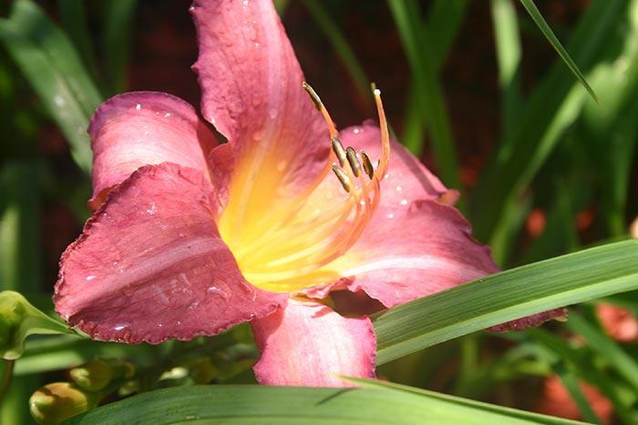 Pink Daylily Art Photo